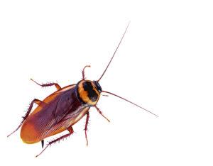 la-biotecnica-disinfestazioni-genova-scarafaggio-2